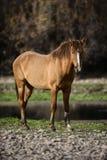 Представления дикой лошади Salt River Стоковое фото RF