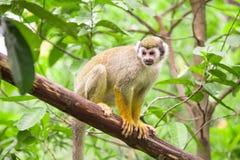Представленная обезьяна белки, Стоковые Фото