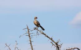 Представленная счет красным цветом птица птицы-носорог Стоковое Изображение