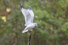 представленное счет кольцо чайки Стоковые Фото