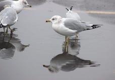 представленное счет кольцо чайки Стоковая Фотография