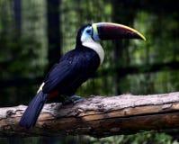 представленное счет красное toucan Стоковое Изображение