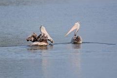 представленное счет пятно пеликана Стоковые Изображения RF