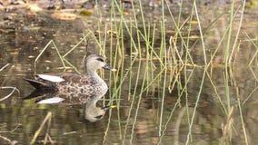 представленное счет пятно утки Стоковое Фото