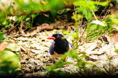 представленный счет голубой красный цвет magpie Стоковое Изображение RF