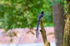 представленный счет голубой красный цвет magpie Стоковая Фотография