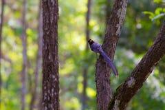 представленный счет голубой красный цвет magpie Стоковые Фотографии RF