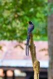 представленный счет голубой красный цвет magpie Стоковое Изображение