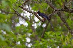 представленный счет голубой красный цвет magpie Стоковая Фотография RF