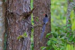 представленный счет голубой красный цвет magpie Стоковое фото RF