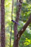 представленный счет голубой красный цвет magpie Стоковые Изображения RF