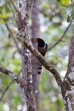 представленный счет голубой красный цвет magpie Стоковые Изображения