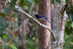 представленный счет голубой красный цвет magpie Стоковые Фото