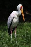 представленный счет желтый цвет аиста mycteria ibis Стоковые Фото