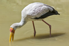 представленный счет желтый цвет аиста mycteria ibis Стоковые Изображения
