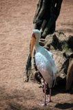 представленный счет желтый цвет аиста mycteria ibis Стоковая Фотография