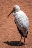 представленный счет желтый цвет аиста mycteria ibis Стоковая Фотография RF