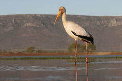 представленный счет желтый цвет аиста mycteria ibis Стоковое Фото