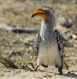 представленный счет желтый цвет hornbill Стоковое Изображение
