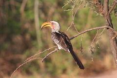 представленный счет желтый цвет hornbill Стоковое Фото