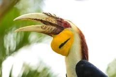 представленный счет желтый цвет hornbills Стоковая Фотография RF