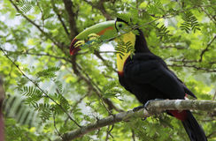 представленный счет киль toucan Стоковое Изображение