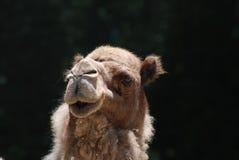 Представлять верблюда против черного фона Стоковые Изображения