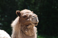 Представлять верблюда дромадера с предпосылкой деревьев Стоковое Фото
