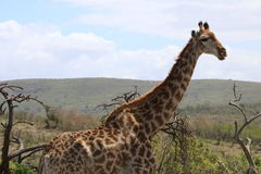 Представлять жирафа Стоковое Изображение