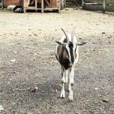 Представлять козу Стоковая Фотография RF