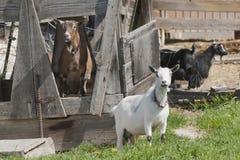 Представлять 2 коз Стоковая Фотография