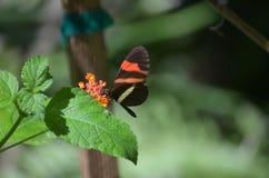 Представлять общую бабочку почтальона на лист завода Стоковое Фото