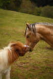 представлять лошадей на лугах горы зеленого цвета Стоковое фото RF