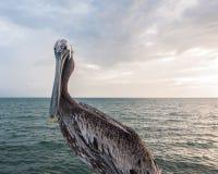 представлять пеликана Стоковое Изображение RF