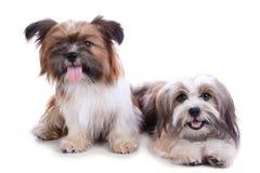 Представлять 2 счастливый щенят стоковые изображения rf