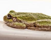 Представлять лягушку Стоковая Фотография RF