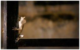 Представлять ящерицы сада Стоковые Фотографии RF