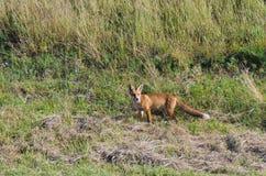 Представлять Fox Стоковые Фотографии RF