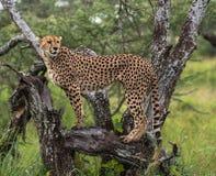 Представляя гепард Стоковое Изображение