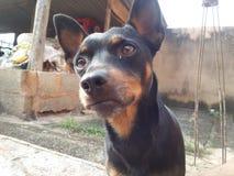 Предупреждение животных собаки бдительное Стоковая Фотография RF