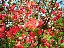 предыдущая весна цветков Стоковые Изображения