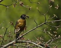 Предыдущая птица получает глиста Стоковые Фотографии RF