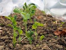 Предыдущие горохи растя под защитой в саде Стоковые Изображения