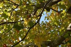 Предыдущие листья Autum Стоковое фото RF