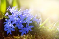 Предыдущие первоцветы весны голубые в солнечном свете Стоковое Изображение