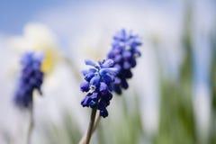 Предыдущие цветки Muscari весны Стоковые Изображения RF
