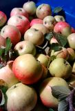 Предыдущие яблоки 2 Стоковые Фотографии RF