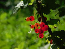 Предыдущие ягоды Стоковая Фотография