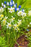 Предыдущие Narcissi карлика Стоковые Фото