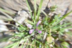 Предыдущий цветок весны в макросе достигая для неба Стоковая Фотография RF